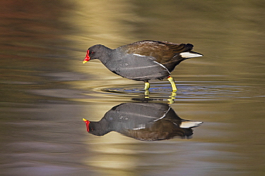 Common Moorhen (Gallinula chloropus) wading, Slimbridge, Gloucestershire, England, United Kingdom