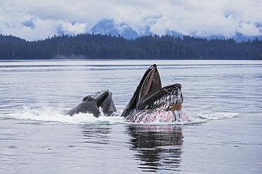 Humpback Whale (Megaptera novaeangliae) pair gulp feeding, southeast Alaska