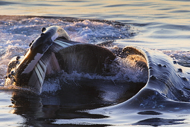 Humpback Whale (Megaptera novaeangliae) gulp feeding, southeast Alaska