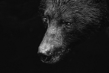 Black Bear (Ursus americanus), southeast Alaska