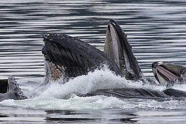 Humpback Whale (Megaptera novaeangliae) group gulp feeding, southeast Alaska
