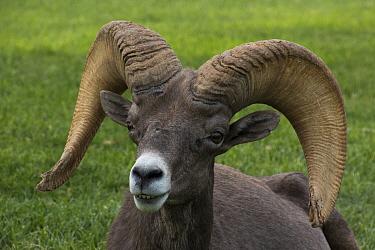 Desert Bighorn Sheep (Ovis canadensis nelsoni) ram, Hemenway Valley Park, Boulder City, Nevada