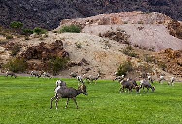 Desert Bighorn Sheep (Ovis canadensis nelsoni) herd grazing on lawn, Hemenway Valley Park, Boulder City, Nevada