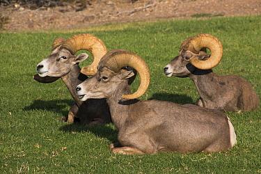 Desert Bighorn Sheep (Ovis canadensis nelsoni) rams on lawn, Hemenway Valley Park, Boulder City, Nevada
