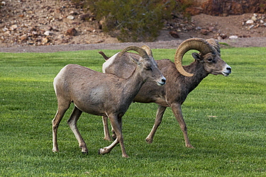 Desert Bighorn Sheep (Ovis canadensis nelsoni) female and male on lawn, Hemenway Valley Park, Boulder City, Nevada
