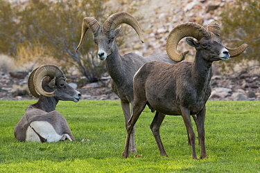 Desert Bighorn Sheep (Ovis canadensis nelsoni) rams on lawn, Hemenway Valley Park, Boulder City, Nevada