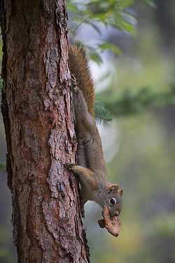 Red Squirrel (Tamiasciurus hudsonicus) carrying mushroom that it has collected and allowed to dry, preserving the fungus for winter, Alaska