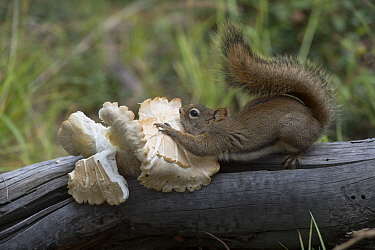Red Squirrel (Tamiasciurus hudsonicus) collecting mushroom and cutting it into smaller pieces, the pieces will dry into jerky which makes it easier to store in a winter food cache, Alaska