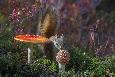 Red Squirrel (Tamiasciurus hudsonicus) collecting poisonous Fly Agaric (Amanita muscaria) mushroom, which it can digest with no ill effect, Alaska