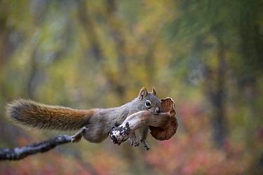 Red Squirrel (Tamiasciurus hudsonicus) carrying mushroom, Alaska