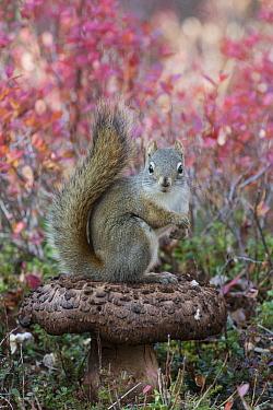 Red Squirrel (Tamiasciurus hudsonicus) on mushroom, Alaska