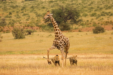African Lion (Panthera leo) males hunting South African Giraffe (Giraffa camelopardalis giraffa) bull, Kgalagadi Transfrontier Park, Botswana, sequence 7 of 15