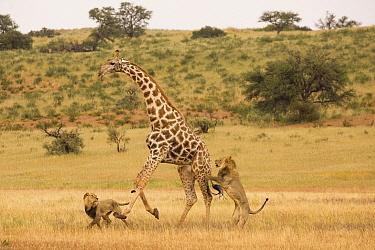 African Lion (Panthera leo) males hunting South African Giraffe (Giraffa camelopardalis giraffa) bull, Kgalagadi Transfrontier Park, Botswana, sequence 8 of 15