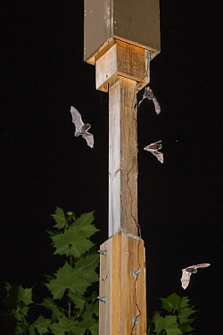 Indiana Bat (Myotis sodalis) group flying near artifical roost, Indianapolis, Indiana, digital composite