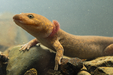 Coastal Giant Salamander (Dicamptodon tenebrosus), neotenic adult with gills, Columbia River Gorge, Oregon