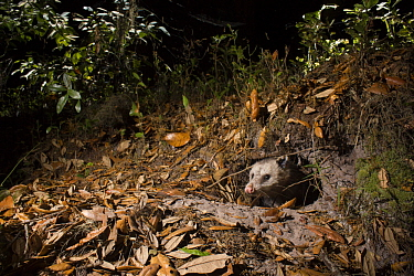 Virginia Opossum (Didelphis virginiana) emerging from den at night, Timucuan Ecological and Historic Preserve, Florida