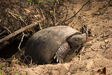 Florida Gopher Tortoise (Gopherus polyphemus) emerging from burrow, Timucuan Ecological and Historic Preserve, Florida
