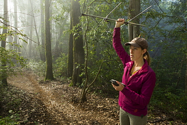 Mountain Lion (Puma concolor) biologist, Justine Alyssa Smith, using telemetry to track female, Santa Cruz Puma Project, Henry Cowell Redwoods State Park, Santa Cruz Mountains, California
