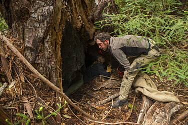Mountain Lion (Puma concolor) biologists, Paul Houghtaling and Anna Nisi, looking for kittens in den, Santa Cruz Puma Project, Henry Cowell Redwoods State Park, Santa Cruz Mountains, California