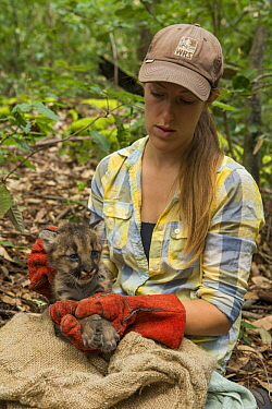 Mountain Lion (Puma concolor) biologist, Justine Alyssa Smith, holding five week old male cub for collaring, Santa Cruz Puma Project, Henry Cowell Redwoods State Park, Santa Cruz Mountains, California