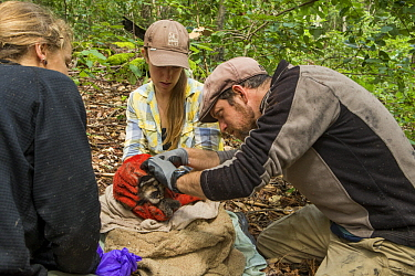 Mountain Lion (Puma concolor) biologists, Anna Nisi, Justine Alyssa Smith, and Paul Houghtaling, collaring five week old male cub, Santa Cruz Puma Project, Henry Cowell Redwoods State Park, Santa Cruz...