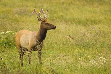 Tule Elk (Cervus elaphus nannodes) bull, Point Reyes National Seashore, California