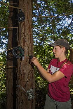 Mountain Lion (Puma concolor) biologist, Justine Smith, setting up audio response equipment, Santa Cruz Puma Project, Santa Cruz Mountains, California
