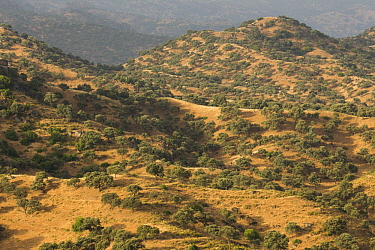 Holm Oak (Quercus ilex) trees in Mediterranean forest, Sierra de Andujar Natural Park, Sierra de Andujar, Sierra Morena, Andalusia, Spain