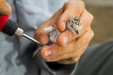 Snowy Plover (Charadrius nivosus) biologist, Ben Pearl, banding chick, Eden Landing Ecological Reserve, Union City, Bay Area, California