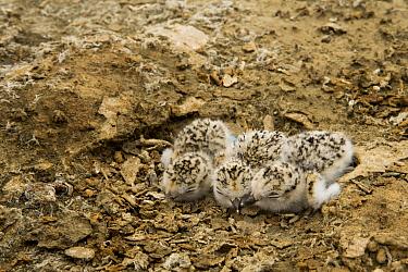 Snowy Plover (Charadrius nivosus) chicks in nest, Eden Landing Ecological Reserve, Union City, Bay Area, California
