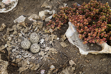 Snowy Plover (Charadrius nivosus) nest in restored salt pond with shells laid by biologists to increase camouflage possibilities for adults, Eden Landing Ecological Reserve, Union City, Bay Area, Cali...