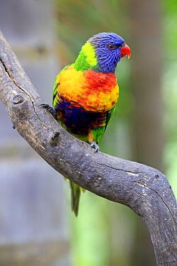 Rainbow Lorikeet (Trichoglossus haematodus), South Australia, Australia
