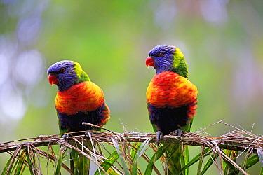 Rainbow Lorikeet (Trichoglossus haematodus) pair, South Australia, Australia