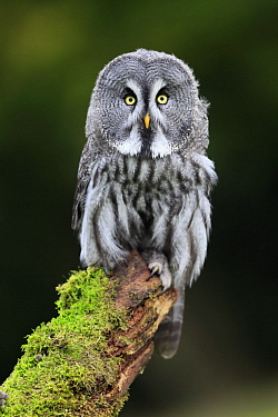 Great Gray Owl (Strix nebulosa), Eifel, Germany