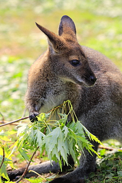 Red-necked Wallaby (Macropus rufogriseus) browsing, Landau, Germany
