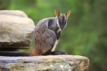 Brush-tailed Rock Wallaby (Petrogale penicillata), Adelaide, South Australia, Australia