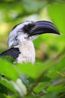 Von der Decken's Hornbill (Tockus deckeni) female, Frankfurt, Germany
