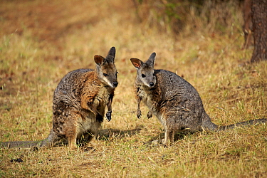 Tammar Wallaby (Macropus eugenii) pair, Kangaroo Island, South Australia, Australia