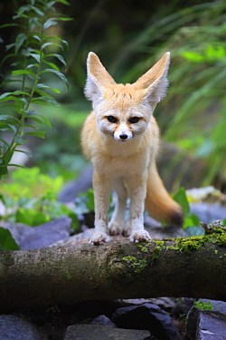 Fennec Fox (Vulpes zerda), Landau, Germany