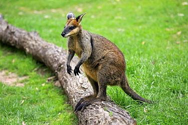 Agile Wallaby (Macropus agilis), South Australia, Australia