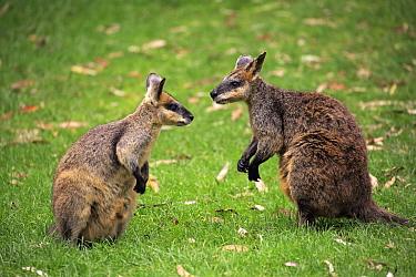 Agile Wallaby (Macropus agilis) pair, South Australia, Australia