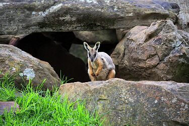 Yellow-footed Rock Wallaby (Petrogale xanthopus), Adelaide, South Australia, Australia