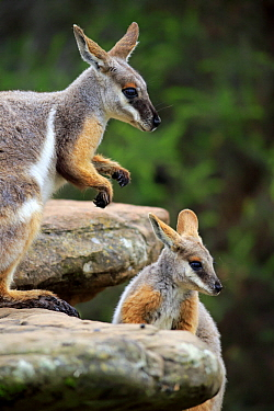 Yellow-footed Rock Wallaby (Petrogale xanthopus) mother with joey, Adelaide, South Australia, Australia