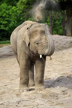 Asian Elephant (Elephas maximus) calf dust bathing, Heidelberg, Germany