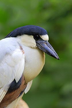 Boat-billed Heron (Cochlearius cochlearius), Frankfurt, Germany