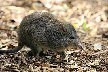 Long-nosed Potoroo (Potorous tridactylus), South Australia, Australia