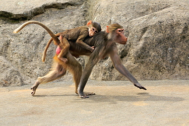 Hamadryas Baboon (Papio hamadryas) mother carrying young, Frankfurt, Germany