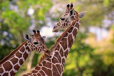 Reticulated Giraffe (Giraffa camelopardalis reticulata) female biting mane of male, Miami, Florida
