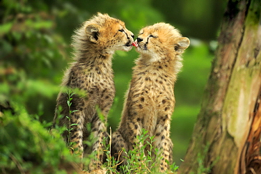 Sudan Cheetah (Acinonyx jubatus soemmeringii) cub licking sibling, Landau, Germany