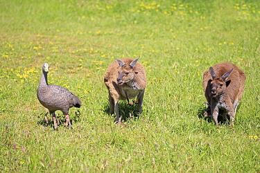 Cape Barren Goose (Cereopsis novaehollandiae) and Eastern Grey Kangaroo (Macropus giganteus) pair, South Australia, Australia